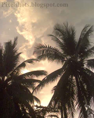 coconut trees in the sunset,common-kerala-trees,thengu,two coconut trees standing close with sunset in the background horizon,kerala-national-tree