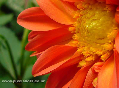 flower closeup photograph taken from home garden,cute orange coloured dalia flower