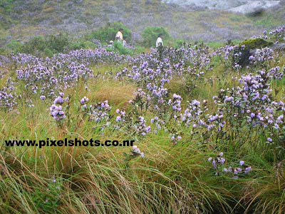 neelakurinjy violet flower photograph,kerala-flower-photos,mountain-covered-in-violet-flowers,flower only seen in rajamala of munnar  kerala