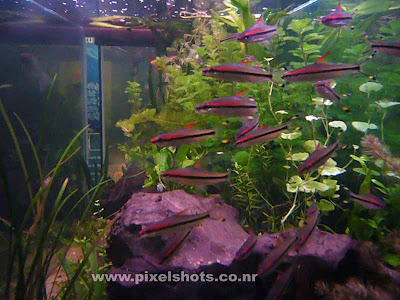 aquarium fish miss kerala photographed from aquarium fish tanks,miss kerala aquarium fishes