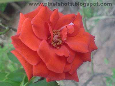 full bloomed red rose photograph photographed in macro lens focal mode of digital camera