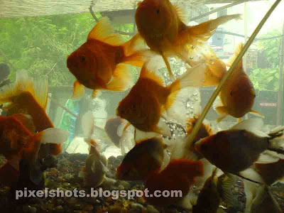 gold fishes,blurred aquarium photo,gold fish groups in aquarium,cell phone photographs of aquarium gold fishes, cold-water-aquarium-fishes