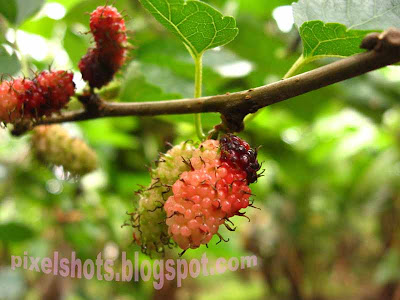 black-mulberries,collective-fruits,morus-plant,healthy-fruit-diet,fruit-medicine