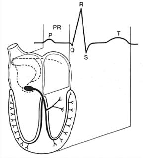 ecg basics medical books free download Heart ECG Sequence ecg basics