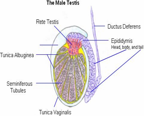 Medical Lecture Notes Online: MALE REPRODUCTIVE SYSTEM