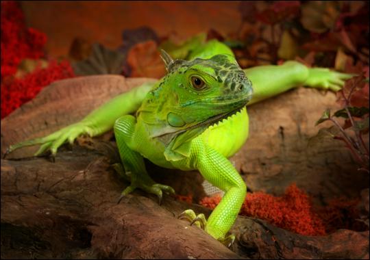 The Baby Green Iguana :: Reptilia Mania - photo#10