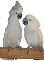 Umbrella Cockatoo Pair