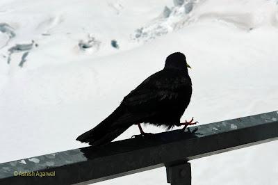 Blackbird balancing on one leg at Jungfrau
