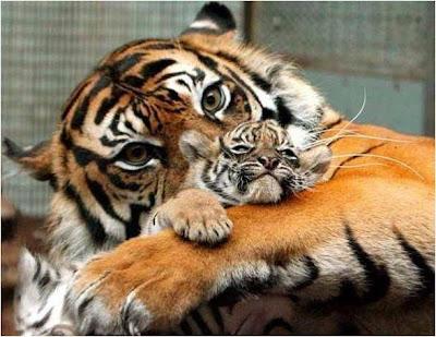 imagen tierna de tigresa con su cria cahorro