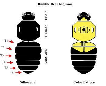 Bumble Bee Diagram Narva Trailer Plug Wiring Bumblebee Pollinator Watch Colors