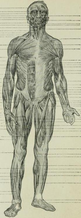 Drawing Labels Human Body Muscles