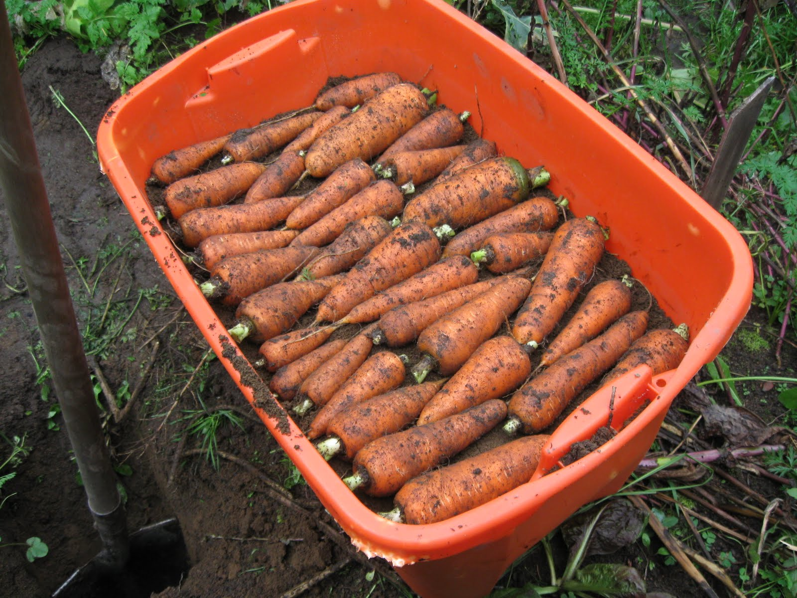 Our Subsistence Pattern Harvesting Beets And Carrots