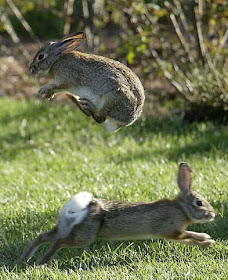 Mandy's Place: Rabbits playing Leap frog! or maybe hopscotch