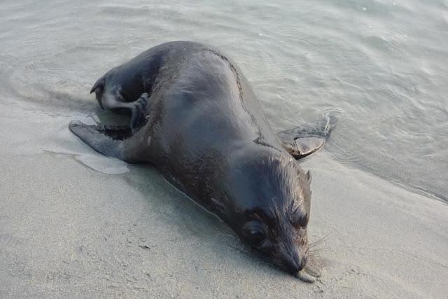 La pequeña foca tenía ganas de jugar