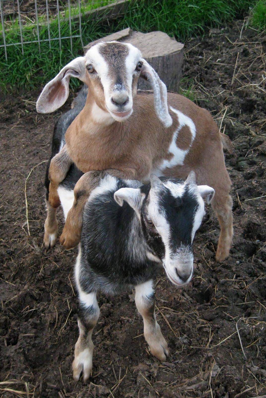 Solar Living Urban Homesteading How to Raise Backyard Goats