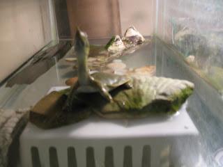 Soft shell turtle neck - photo#29