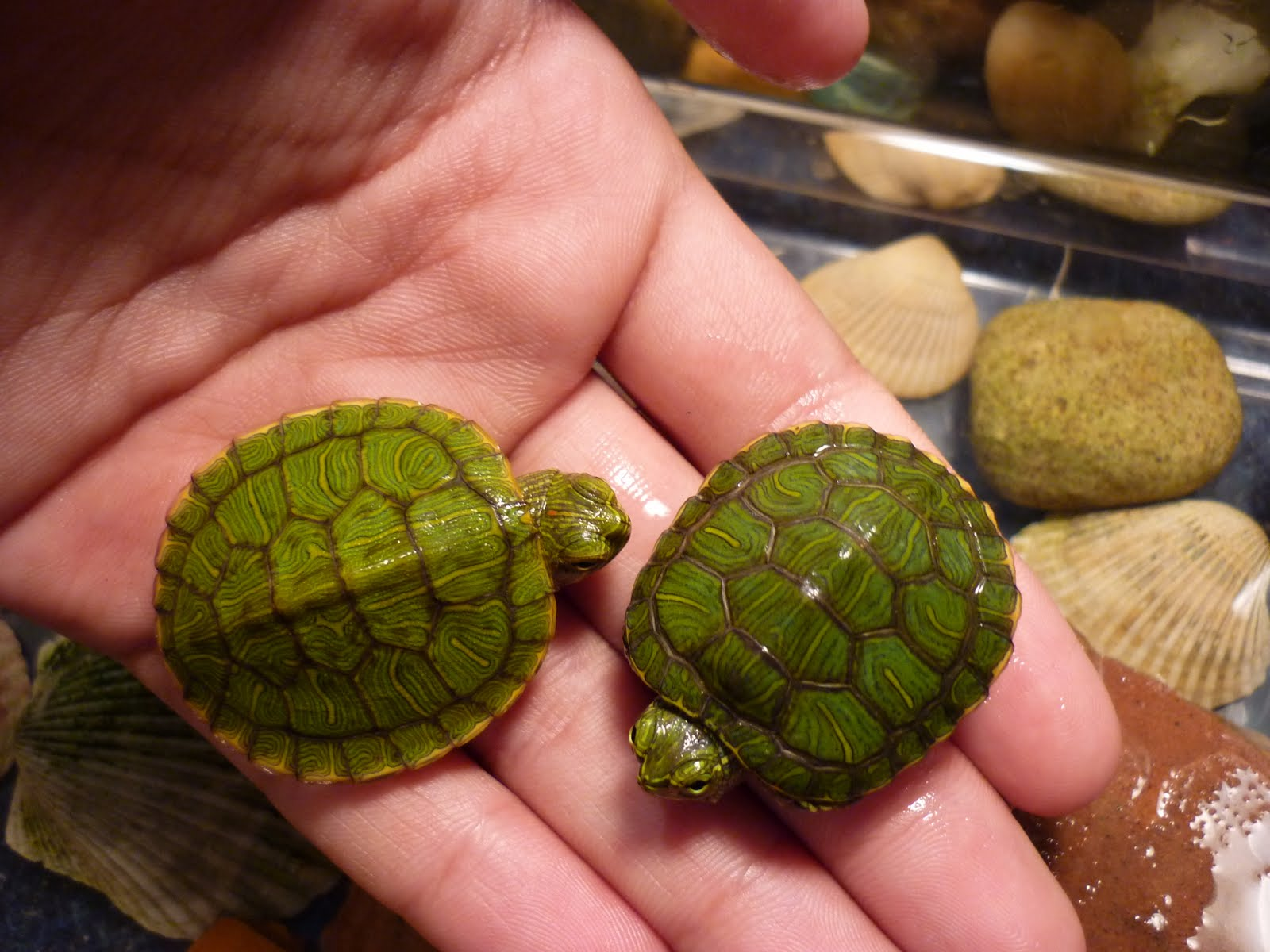 Wildlife New Baby Red Ear Slider Turtles