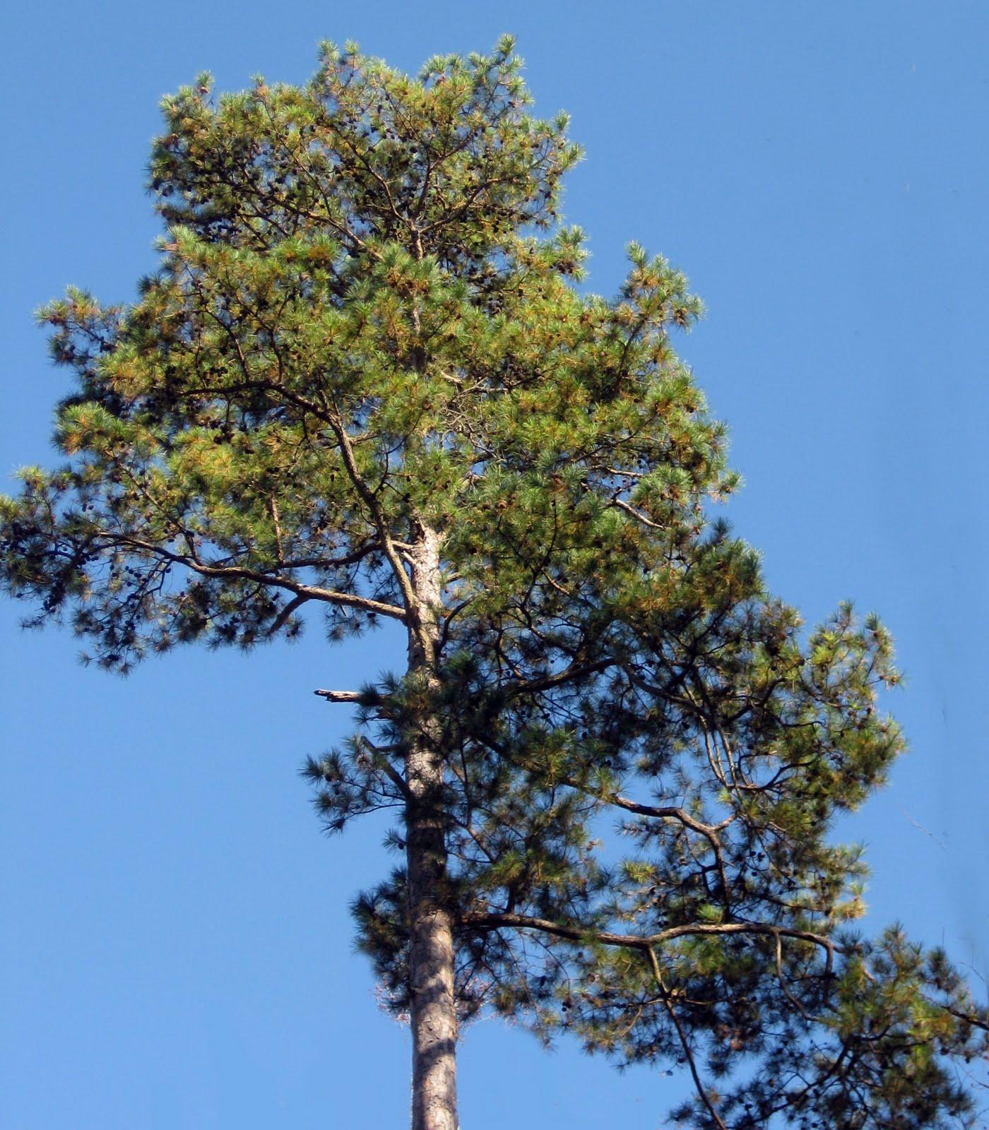 Mary Clark, Traveler: Lennox Woods and the Shortleaf Pine ...