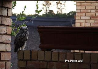 Pot Plant Owl November 2010