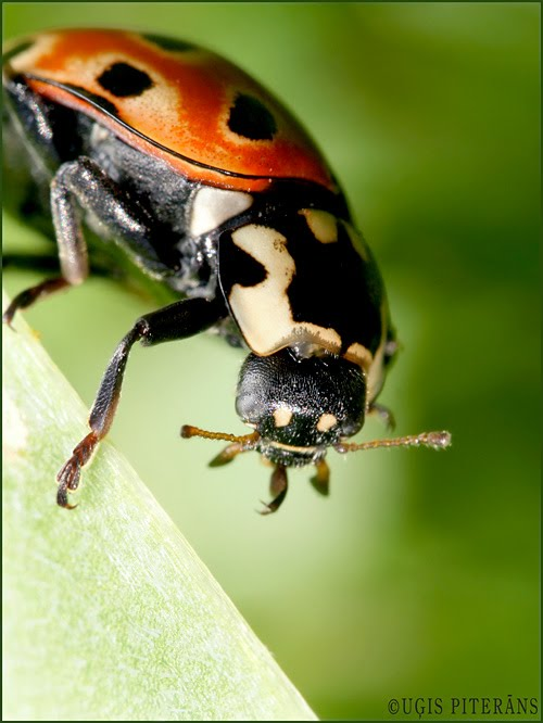 Acainā mārīte (Anatis ocellata)