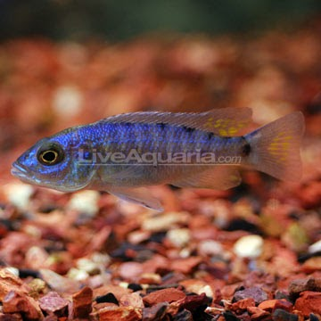 electric blue african cichlid - photo #42