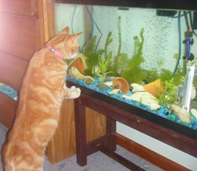 Cat looking at aquarium