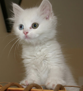 Hewan Termahal - These Animals: Manx cats are short haired