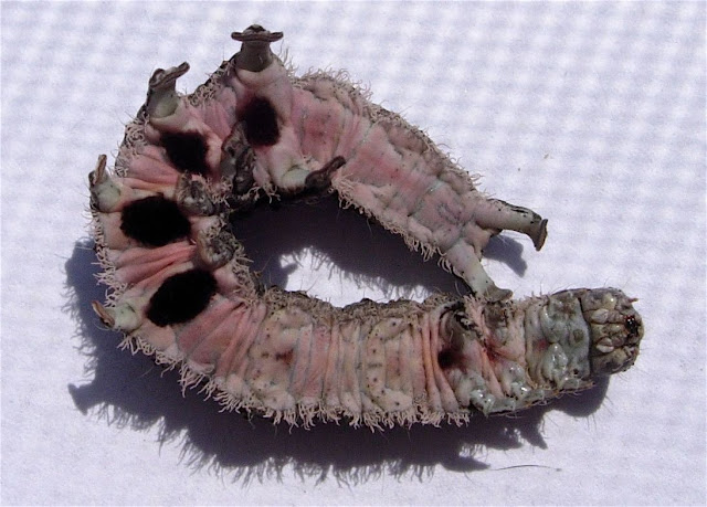 "Gray Caterpillars That Are Big: TYWKIWDBI (""Tai-Wiki-Widbee""): Can Anyone I.D. This Grey"