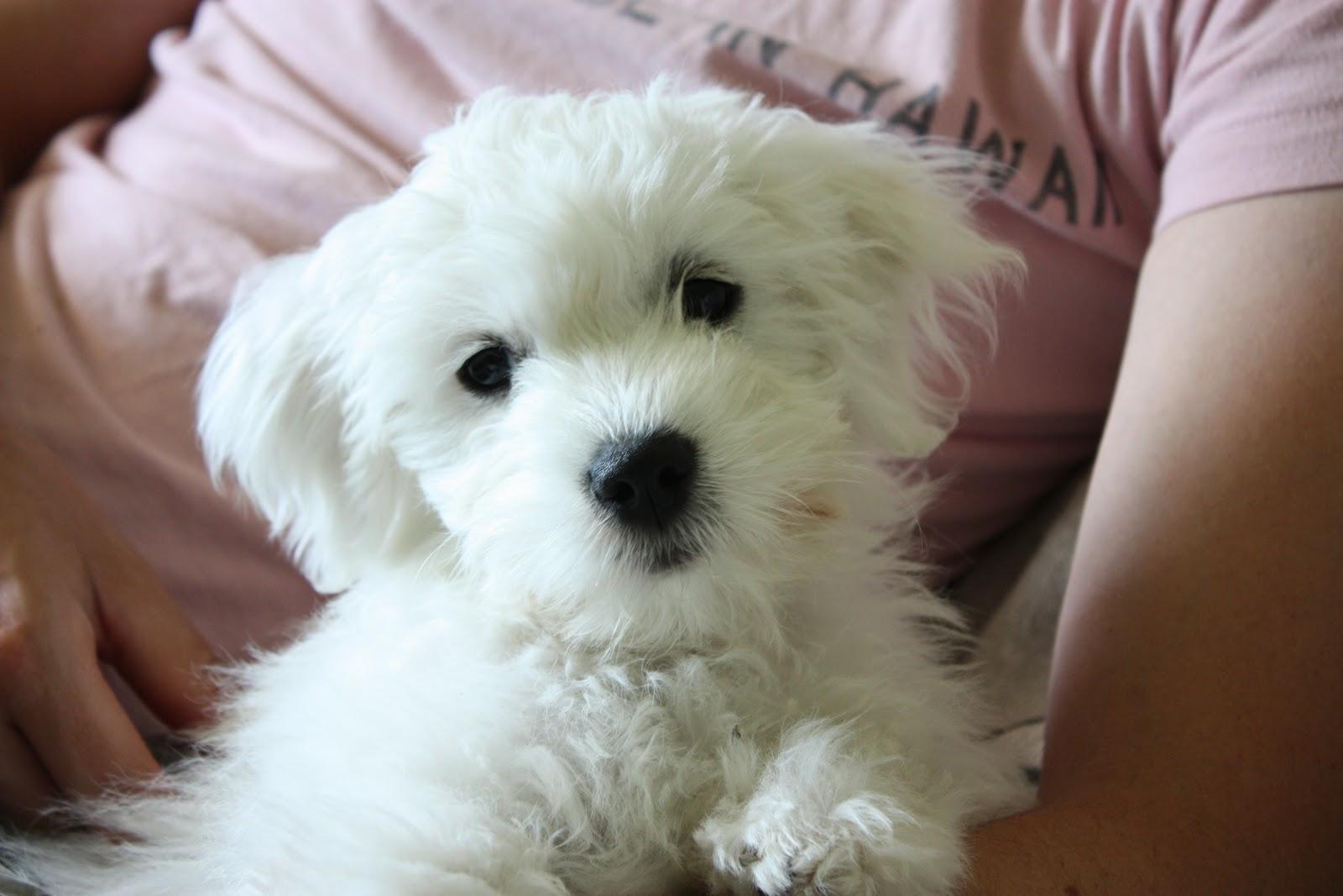 pieni ja ystävällinen koirarotu