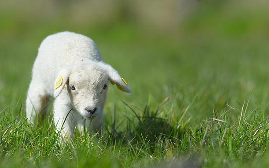 Dougherty, Mr. | Science / BIOLOGY II: CHAPTER 15 Sheeps ...