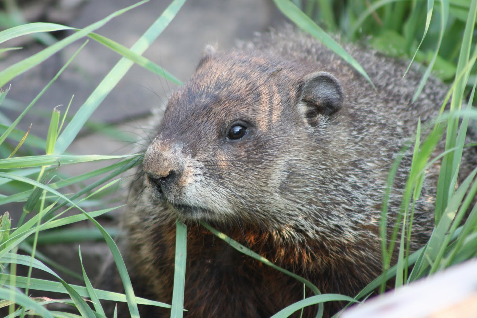 Thimbles, Bobbins, Paper And Ink: The Garden And The Groundhog