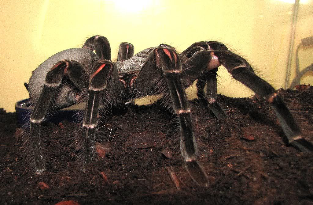 World's Biggest Spider ever Seen ~ MyClipta