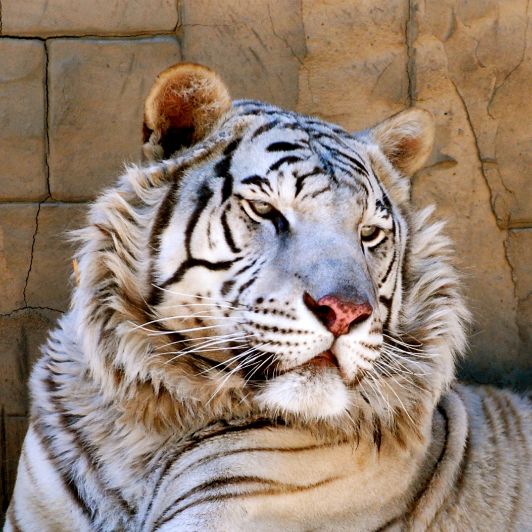 endangered tigers The tiger (panthera tigris) is the largest cat species, most recognizable for its pattern of dark vertical stripes on reddish-orange fur with a lighter undersidethe species is classified in the genus panthera with the lion, leopard, jaguar and snow leopard.