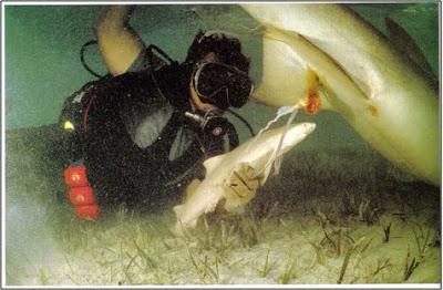 Reproducción de los Tiburones: viviparos