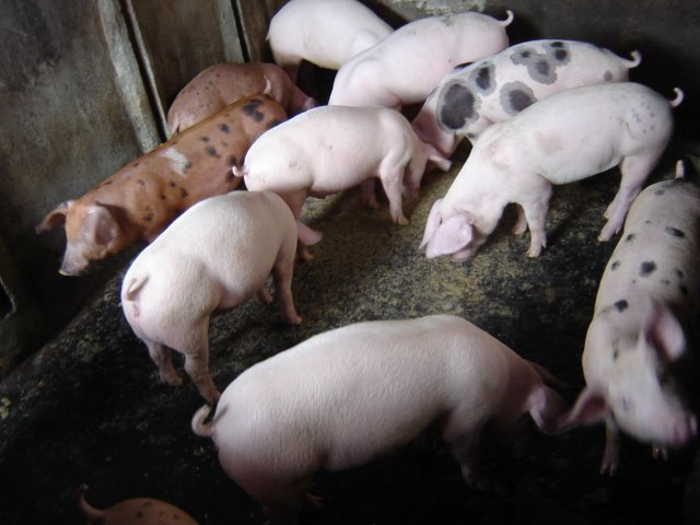 Pig livestock in District Sonder of Minahasa North Sulawesi