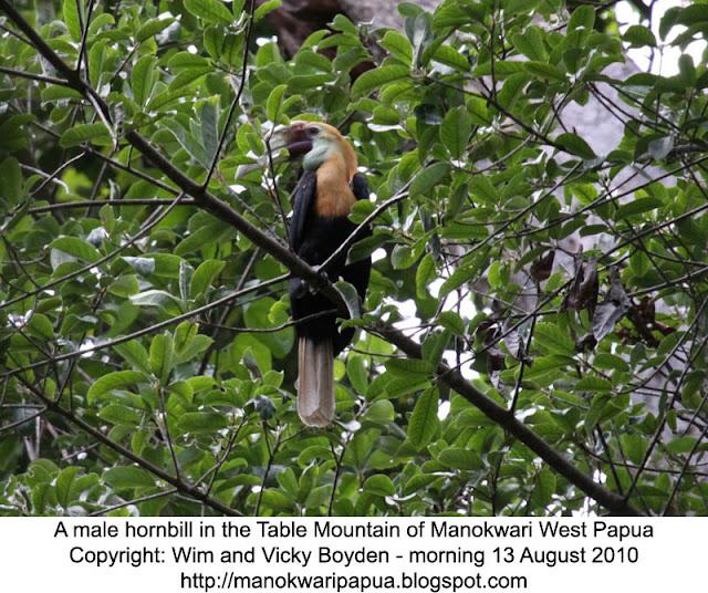 Blyth's hornbill in nutmeg tree.