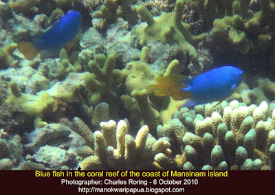 Yellow-tailed Blue Devil Fish in coral reef of Indonesia