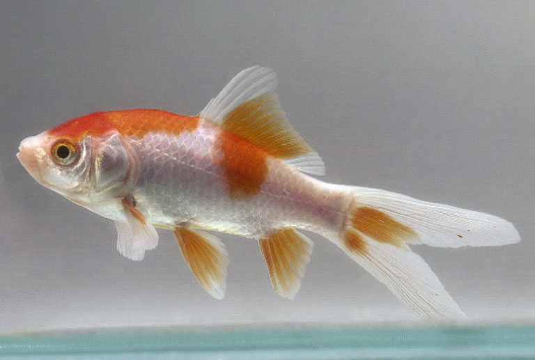 Baby Common Goldfish A...