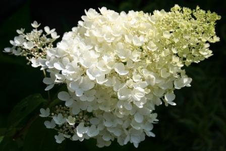 hortensja kwiat