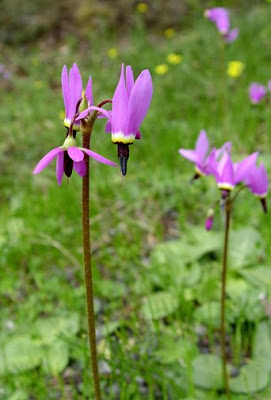 shooting star wildflowers