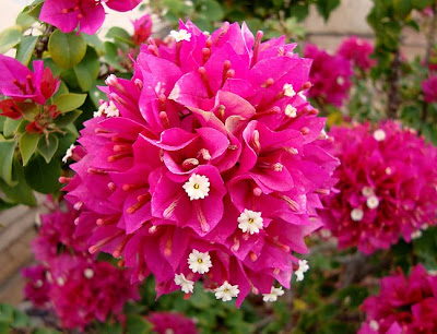bougainvillea blossoms