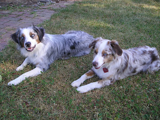 our miniature Australian shepherds