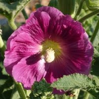 volunteer hollyhock © Tyler Storey