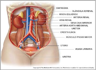 Órganos del sistema urinario o renal