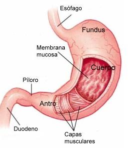 partes del estómago