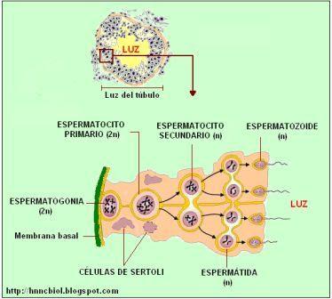 espermatogénesis