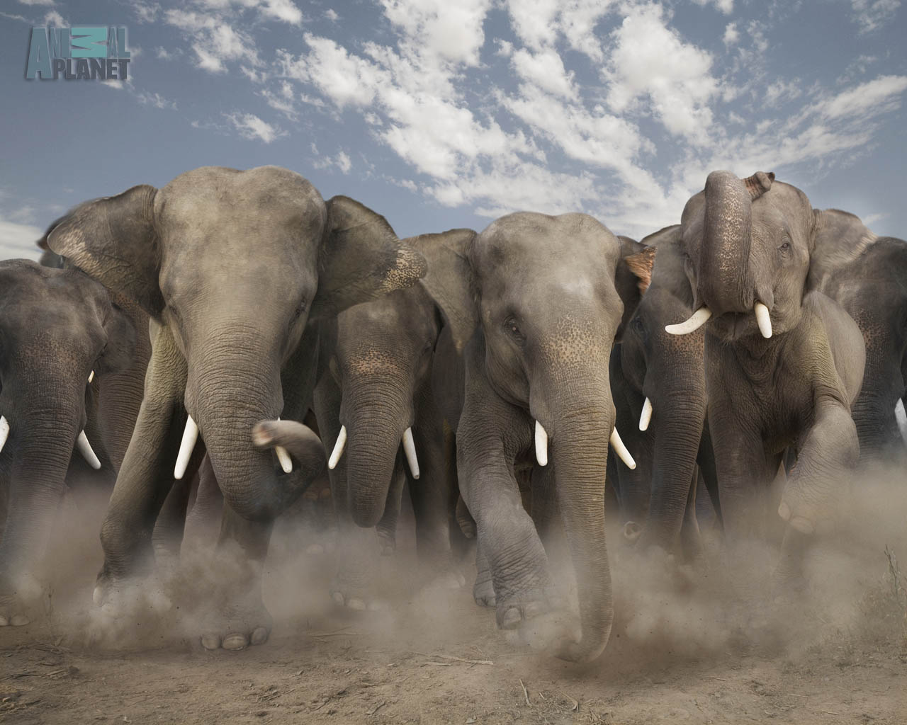 Beautiful Pictures Of Elephant In Hd: Wild Animal Wallpapers