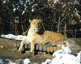 Lionger