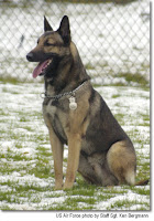 Bruno is a military working dog at Ramstein Air Base, Germany.