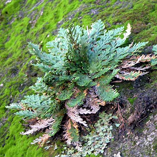 Rose of Jericho Resurrection Plant. Selaginella lepidophylla, http://www.nps.gov/archive/amis/nr_profile/ferns_guide.htm